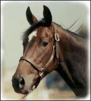 cheval profil tête 14