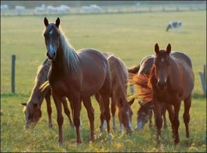 chevaux pâturage 12 a